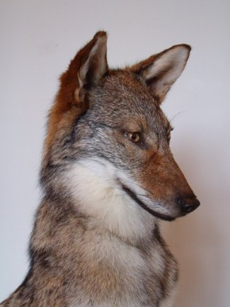 Coyote Taxidermy Mounts Pennsylvania Taxidermist, Predator Taxidermy
