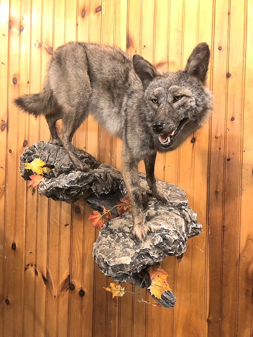 Life Size Coyote Mounts, Coyote Mount Pictures, Coyote Mount Ideas