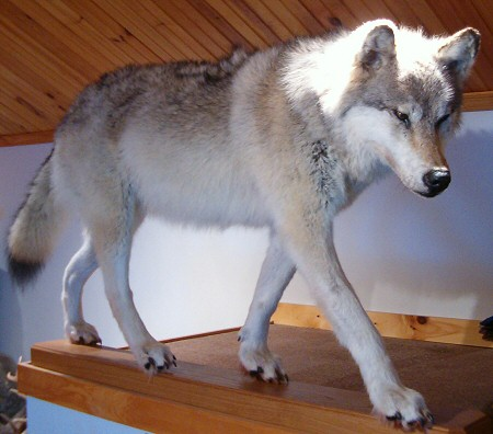 Life Size Wolf Taxidermy Mounts, Brown Bear Taxidermy Studio Pennsylvania