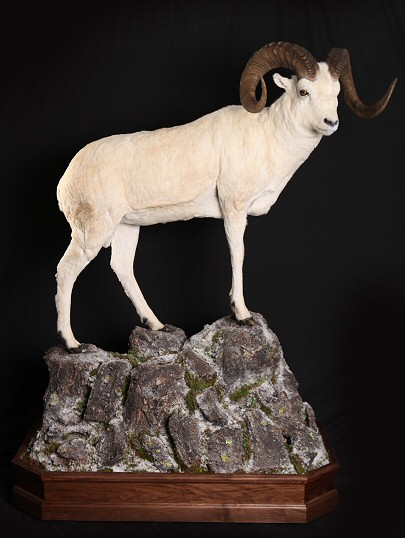 Dall Sheep Taxidermy - Desert Sheep Taxidermy - Stone Sheep Taxidermy - Big Horn Sheep Taxidermy
