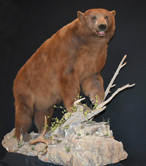 Brown Bear Taxidermy Mount For Sale Pennsylvania Call 570 345 3030
