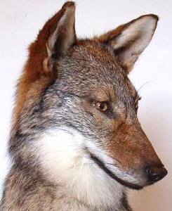 Coyote Taxidermy,Coyote Taxidermist In Pennsylvania,Coyote Mount Taxidermy,Coyote Mount Ideas,Life Like Coyote Mounts,Coyote Mounts Near Me In Pennsylvania